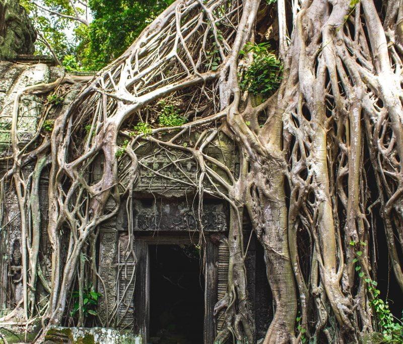 Cambodia tree