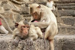 Monkeys in the Sukhothai area in Thailand