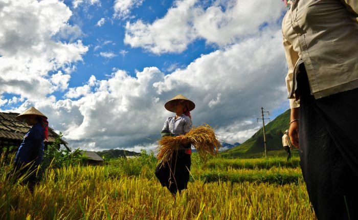 tours by locals cultivate rice Pu Luong
